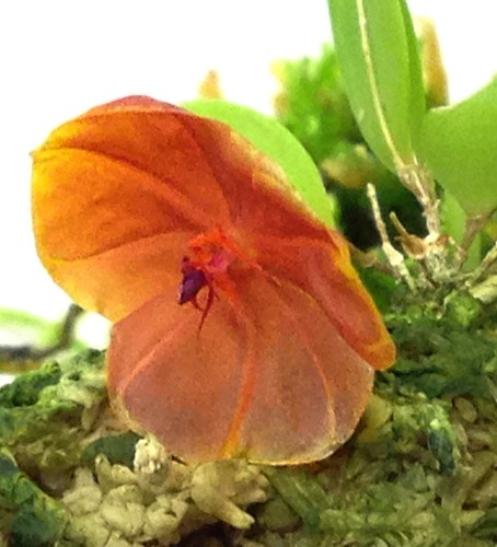 Lepanthes telipogoniflora, first bloom!