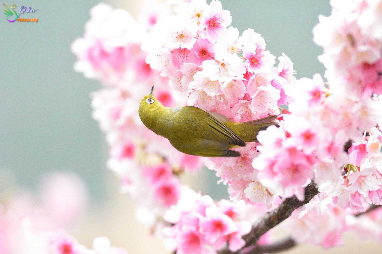 Sakura_White-eye_8136