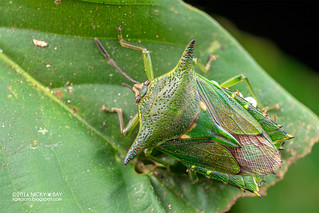 Giant shield bug (Pygoplatys sp.) - DSC_6658