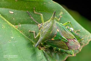 Giant shield bug (Pygoplatys sp.) - DSC_6658