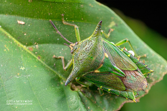 Giant shield bug (Lyramorpha sp.) - DSC_6658