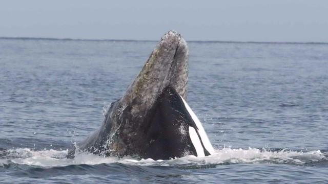 whale-attack_1459619606887_1336785_ver1.0