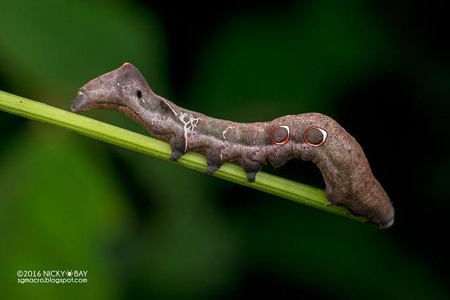 Caterpillar (Erebidae) - DSC_7030