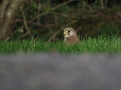 Kestrel in Audrieu