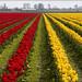 Tulips 46 by FarhadFarhad .(Farhad Jahanbani)