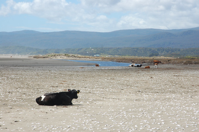 Cows at the Beach in Cucao, Chiloé, Chile