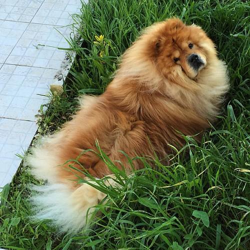 …una mirada inocente! #chowchow #perro #cão #mascota #dog #chow