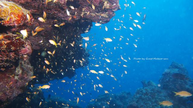 キンギョハナダイ幼魚の群れ