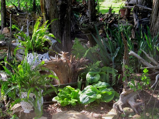 A gracious hosta welcomes fern dignitaries.