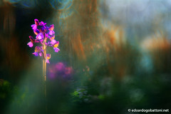 wild orchid #1