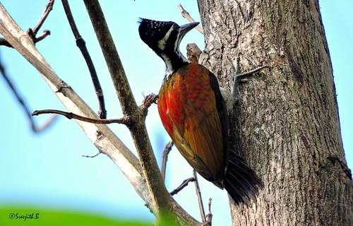 nature birds woodpecker kerala kollam naturephotography birdsofindia thenmala birdsofkerala greatergoldenbackwoodpecker വലിയപൊന്നിമരംകൊത്തി birdsofkollam shenthuruniforest ചെന്തുരുണി