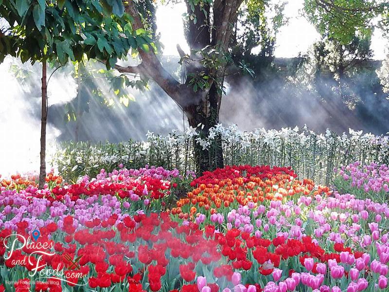 tulip farm in thailand Suan Tung Lae Khom Chiang Rai Park light rays