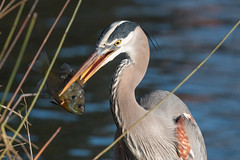 IMG_1817.jpg Great Blue Heron, West Lake Park, Santa Cruz