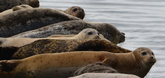 Harbor seals at Alameda Point