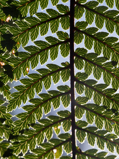 Black Tree Fern (Cyathea medullaris)