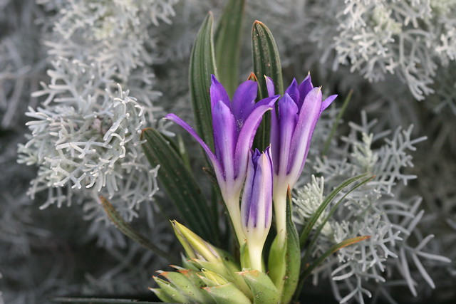 Babiana curviscarpa