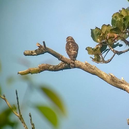 india birds aves karnataka raptors coorg birdsofprey kodagu accipitridae besra accipitervirgatus kiteshawksandeagles kabbehills