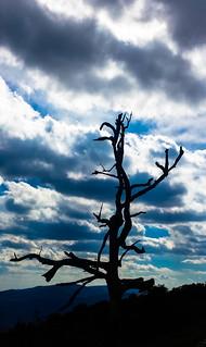 Dead tree, Skyline Drive