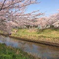 矢那川の桜  2016/4/6