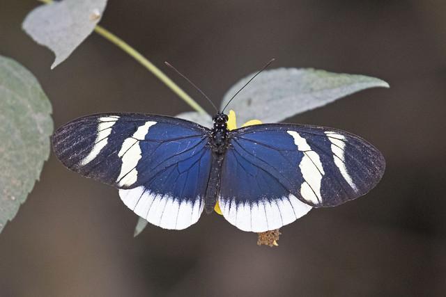 Eleuchia Longwing (Heliconius eleuchia eleuchia) (Nymphalidae, Heliconiinae)