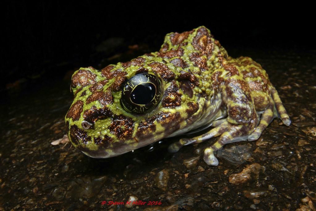 Ishikawa's frog (Odorrana ishikawae) - Wide angle macro photography