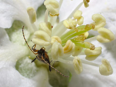 Longhorn beetle on apple blossom