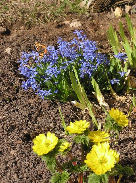 Adonis amurensis & Scilla sibirica