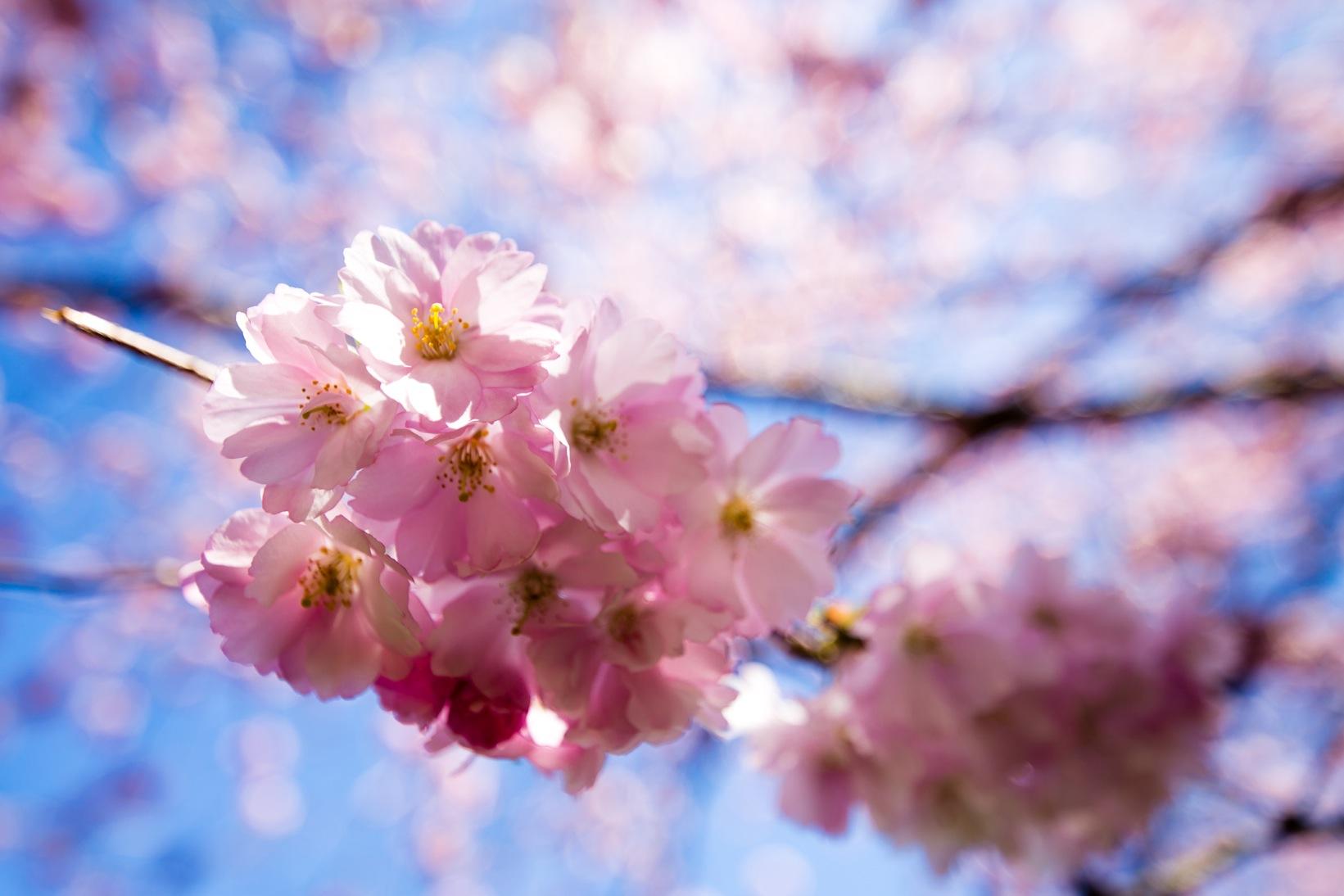 Bispebjerg Sakura-3393-2