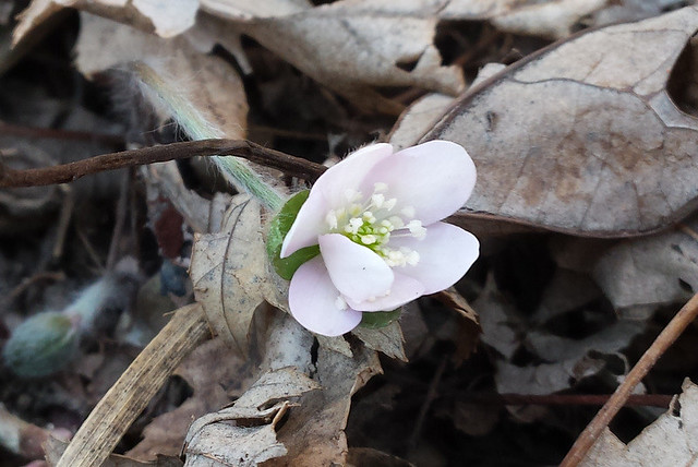 one pale pink flower, not fully open