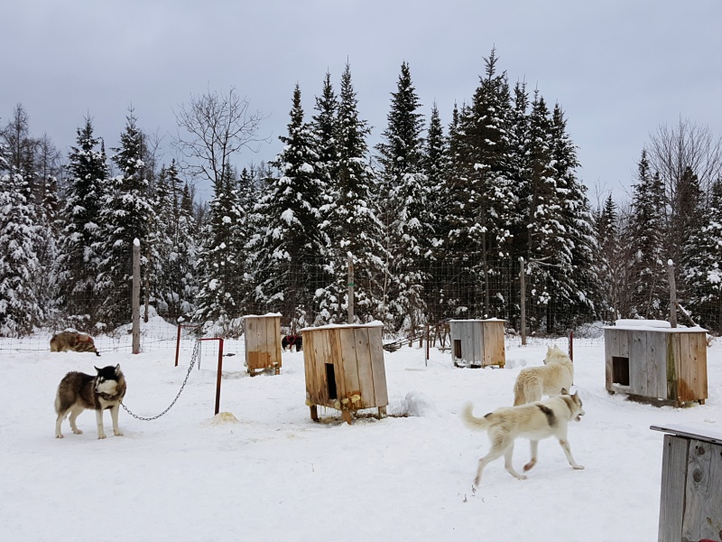 Dog Sledding huskies