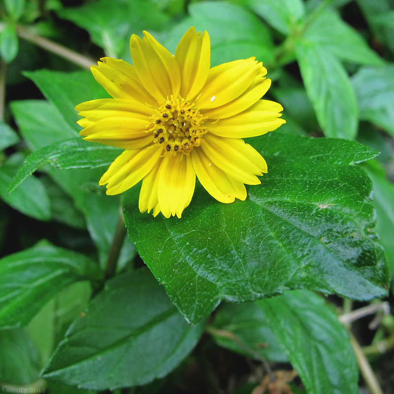 Butter daisy, or little yellow star