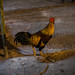 Small photo of Cluck