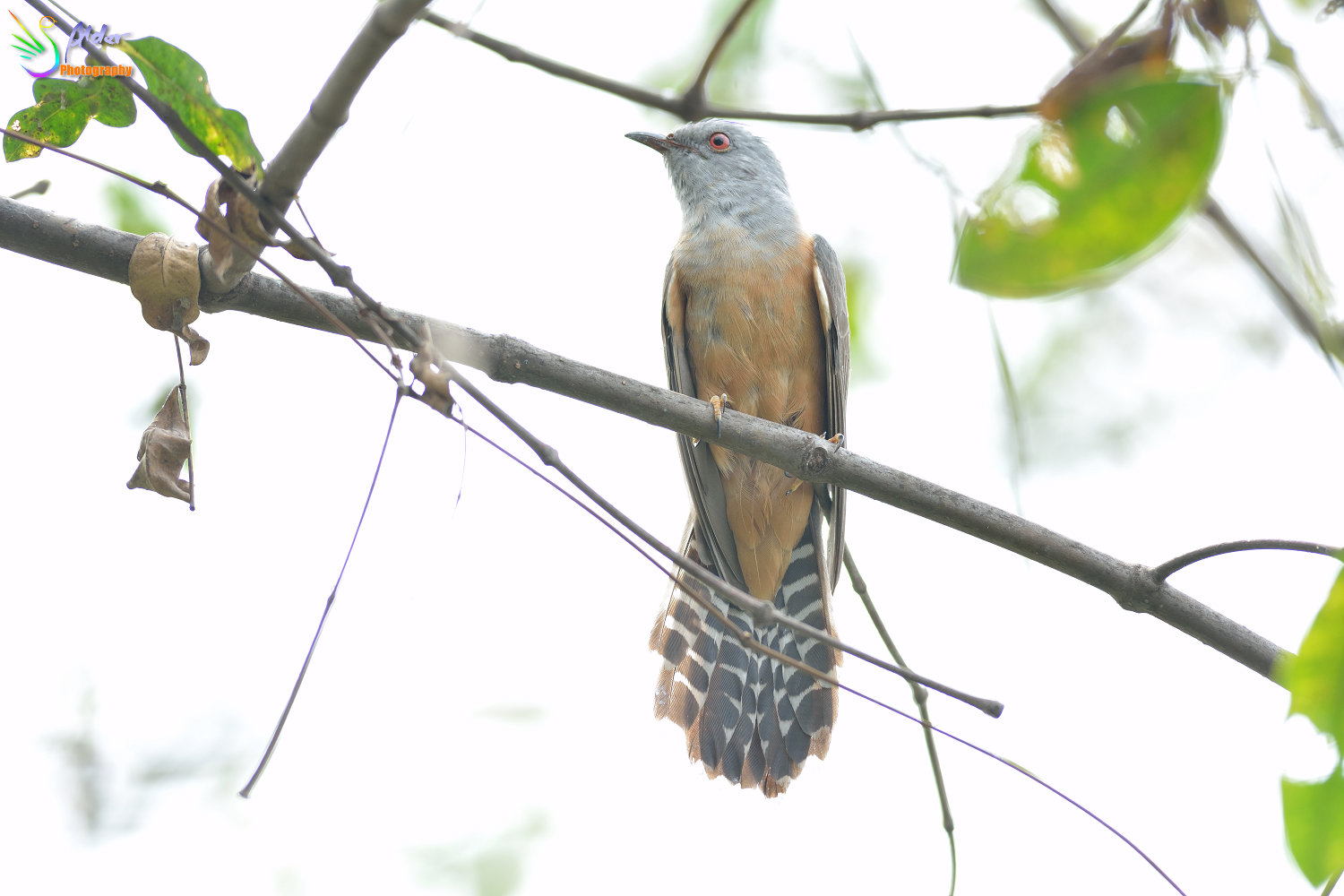 Plaintive_Cuckoo_1717