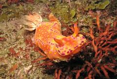 ニシキウミウシ Ceratosoma trilobatum