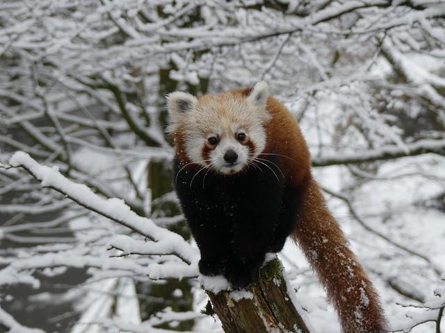 Roter Panda, Nürnberg