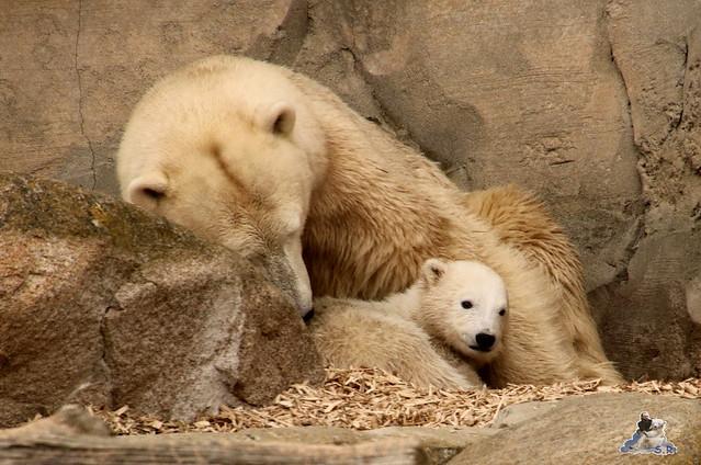 Eisbär Lili im Zoo am Meer Bremerhaven 10.04.2016 Teil 1 52
