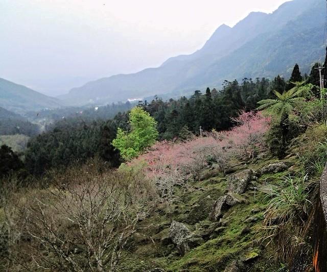 河津櫻 (5)
