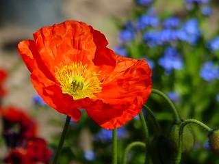 Une fleur pour Bruxelles.... A Flower for Brussels... P1060603.JPG