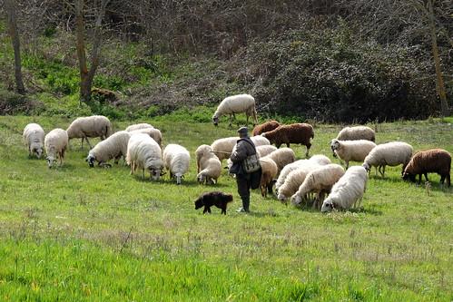 Pastor com a suas ovelhas