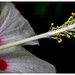 Biltmore Conservatory Hibiscus by @CarShowShooter