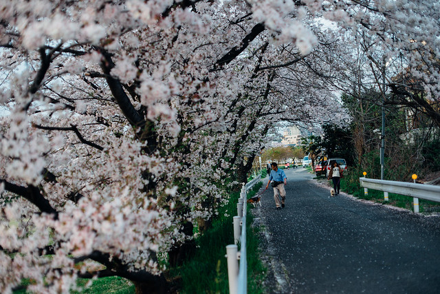 CherryBlossoms_413