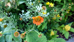 Could this be Geum in the Cottage Garden?