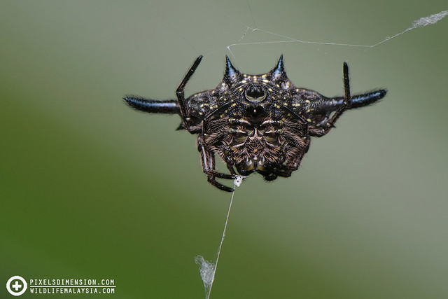 Parallel-Spined Gasteracantha- Gasteracantha diardi ♀