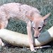 Coyote and large squash
