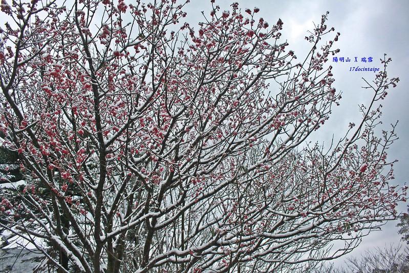 2016-台北陽明山-瑞雪-難得一見的雪白山景-17度C隨拍 (138)