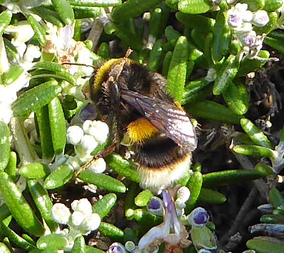 buff-tailed bumblebee worker 2