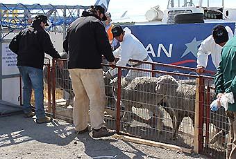 LAN Cargo ovinos Magallanes (LAN Cargo)