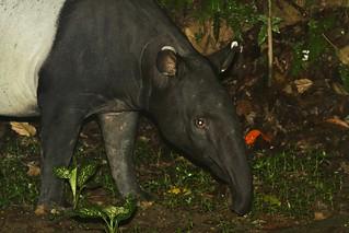 Malayan Tapir (Tapirus indicus) wandering in the garden ... (Photo by Xavier MALLERET)