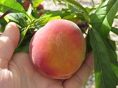 starr-150511-1828-Prunus_persica_var_persica-Tropic_Beauty_fruit-Hawea_Pl_Olinda-Maui