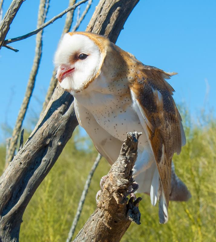 owl-01-desert-museum